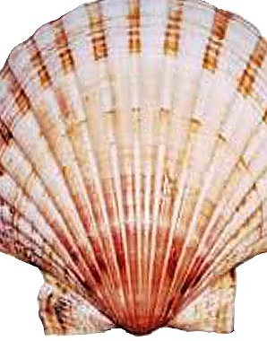 Scallop shell, symbol of St James